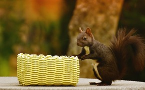 Picture look, pose, the dark background, table, tree, protein, is, basket, brown, stand, squirrel