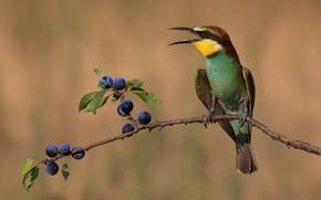 Picture pose, berries, background, bird, branch, beak, fruit, drain, bright plumage, European bee-eater, Chernosliv, blackthorn