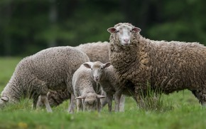 Picture grass, sheep, pasture, sheep, sheep, lambs, grazing