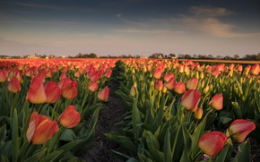 Picture field, flowers, tulips, Netherlands, plantation