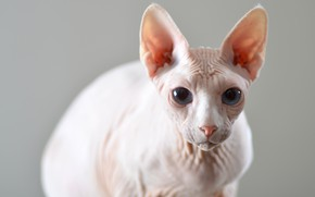 Picture cat, cat, look, background, muzzle, ears, Sphinx