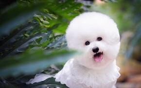 Picture language, look, leaves, haircut, portrait, dog, treatment, plants, blur, muzzle, puppy, white, dog, Princess, baby, …