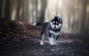 Wallpaper road, forest, look, leaves, light, trees, pose, Park, grey, background, foliage, dog, baby, puppy, walk, ...