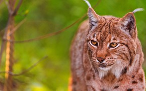 Picture cat, summer, look, face, branches, nature, animal, portrait, beauty, lynx, green background, wild, Golden eyes