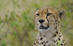 Picture look, face, background, portrait, Cheetah