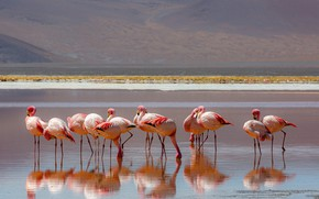 Picture birds, reflection, shore, pack, Flamingo, pond, a lot, pink flamingos