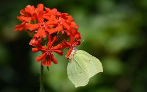 Picture flower, butterfly, the limonite