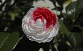 Picture leaves, Camellia, motley