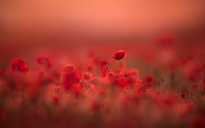 Picture field, flower, summer, light, flowers, red, nature, background, glade, Mac, Maki, beauty, blur, meadow, red, …