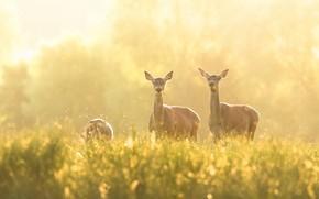 Picture summer, grass, light, fog, glade, spring, deer, morning, meadow, deer, bokeh, grazing, midges