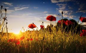 Picture field, summer, light, Maki, morning