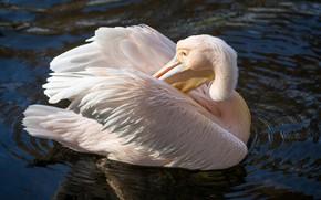 Picture pose, bird, pond, Pelican