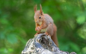 Picture greens, summer, nature, tree, protein, squirrel, rodent