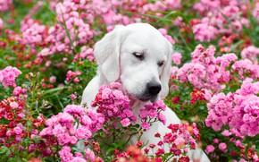 Picture face, flowers, roses, dog, Golden Retriever, Golden Retriever