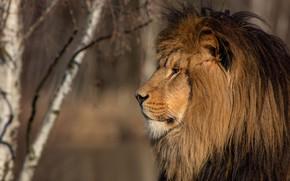 Picture look, face, trees, background, portrait, Leo, mane, profile