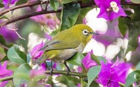 Picture flowers, branches, bird, bokeh, bougainvillea, Japanese white-eye