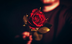 Picture Flower, Rose, Wallpaper