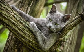 Picture language, cat, cat, look, face, nature, pose, grey, tree, portrait, branch, paws, bark, green eyes, …