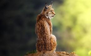 Wallpaper predator, grace, lynx