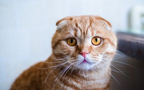 Picture cat, cat, look, face, background, portrait, fold, red, British, British, yellow eyes