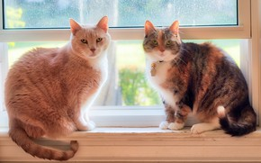 Picture window, a couple, on the windowsill, koteyki, two cats