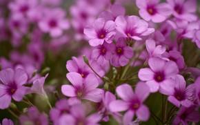 Picture flowers, pink, a lot, bokeh, geranium, geranium meadow