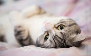 Picture cat, eyes, cat, look, sweetheart, bed, portrait, muzzle, bed, lies, grey, striped, Scottish fold, fold