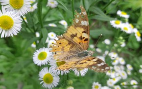 Picture Flowers, Butterfly, Leaves, Stems, The annual melkolepestnik