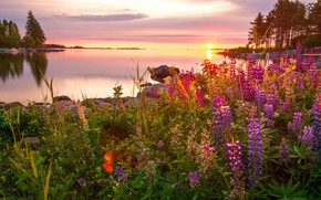 Picture summer, grass, trees, landscape, flowers, nature, lake, stones, dawn, morning, Bank, lupins