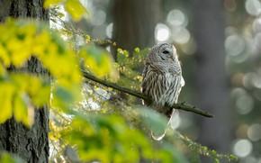 Picture look, light, branches, tree, owl, bird, foliage, needles, bokeh, owl