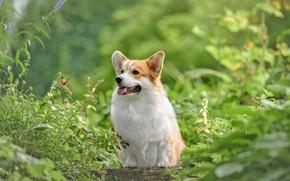 Picture greens, summer, nature, animal, butterfly, dog, dog, Corgi, Ирина Ковалёва