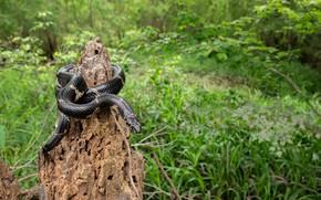 Picture forest, stump, snake, black snake
