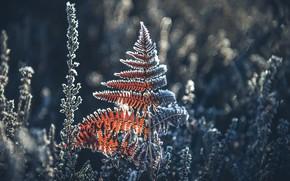 Picture winter, frost, fern
