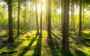Picture forest, the sun, light, branches, pine
