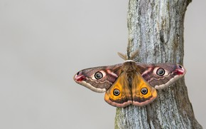 Picture macro, background, tree, butterfly, insect, Emperor moth