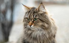 Picture portrait, look, cat, bokeh, muzzle, fluffy, Siberian cat, cat