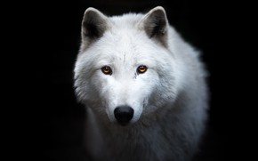 Picture white, look, face, wolf, portrait, black background