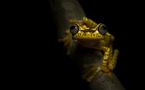 Picture eyes, look, macro, pose, frog, branch, black background, yellow, spotted, dendrobates