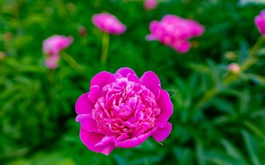Picture pink, bokeh, peony