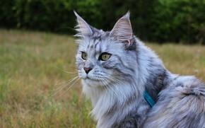 Picture cat, cat, look, face, nature, pose, grey, background, portrait, walk, sitting, smoky, Maine Coon