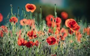 Picture light, flowers, Maki, meadow, red, bokeh