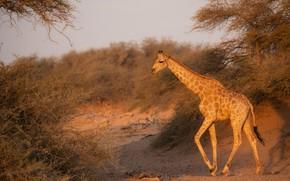Picture trees, branches, nature, giraffe, walk