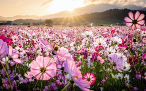 Picture the sun, rays, mountains, nature, flowering, kosmeya