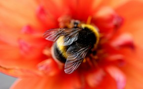 Picture flower, macro, red, bee, background, blur, bumblebee, wings, bokeh