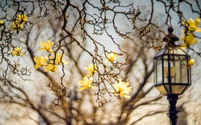 Picture flowers, branches, blur, spring, yellow, lantern, flowering, bokeh, Magnolia