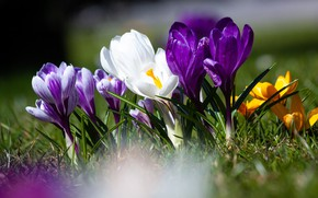 Picture flower, flowering, nature, flora, bloom, spring Crocus