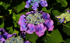 Picture flowers, Bush, flowering, Hydrangea