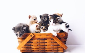 Picture basket, kittens, white background