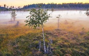 Picture fog, morning, birch