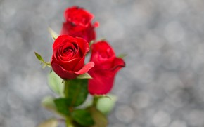 Picture background, roses, red, bokeh